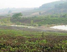 茶场种茶叶园喷灌