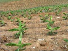 喷灌滴灌-香蕉种植基地
