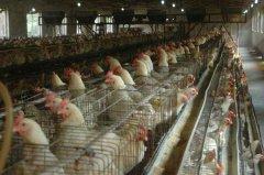 夏季养鸡场喷雾降温的几种方法
